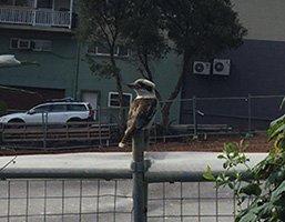 p6-Kookaburra-Ryde_s